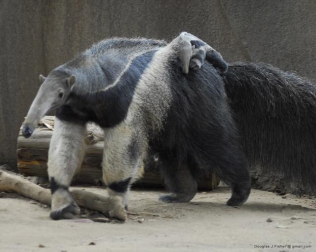 مورچهخوار و بچهاش